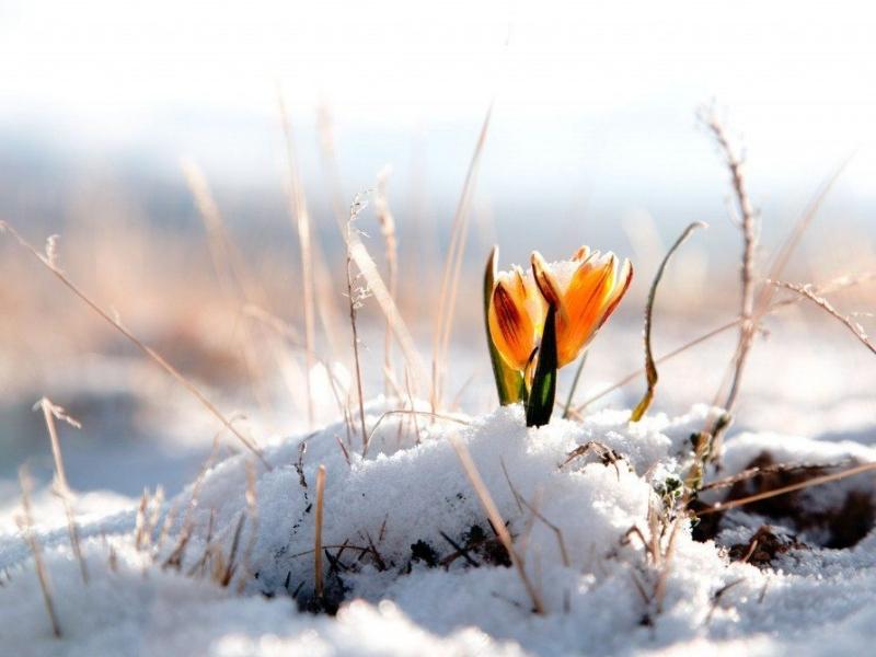 První sněženky na sněhu v únoru